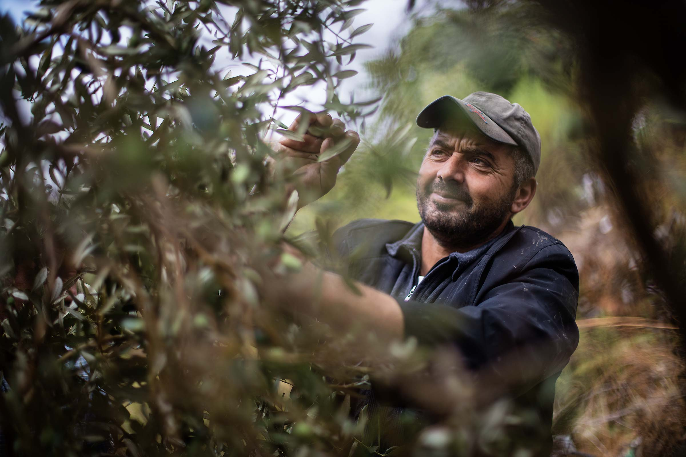 an agricultural worker picks olives off a tree in the West Bank